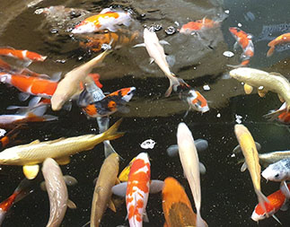 """Koi and Pond Supplies 8-10""""koi"""