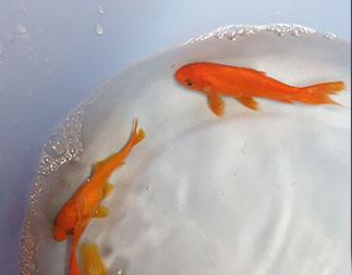Koi and Pond Supplies Goldfish