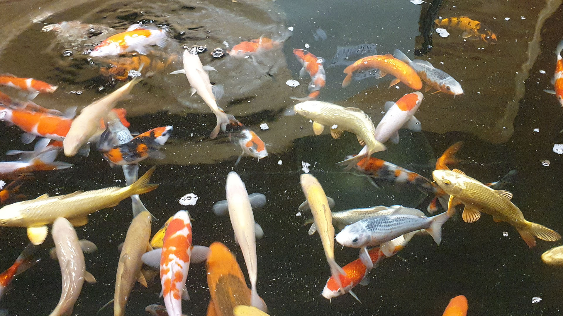 Koi and Pond Supplies Fish in stock
